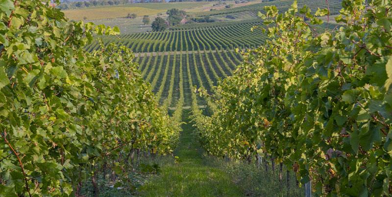 A móri borvidék szívében a Paulus Étterem várja a gasztronómia kedvelőit, kalandorokat és borimádókat borebédre, borvacsorára